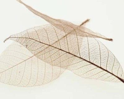 Buy Sheer Leaves IV Fine Art Print: Poster